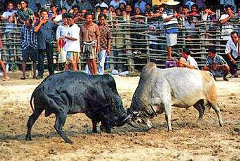 การชนวัว
