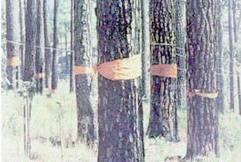 พิธีบวชต้นไม้