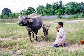 พิธีขอขมาวัวควาย